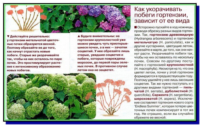 Выращивании гортензии дома