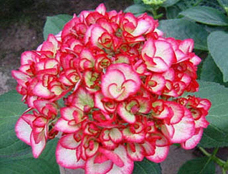 Комнатное растение гортензия